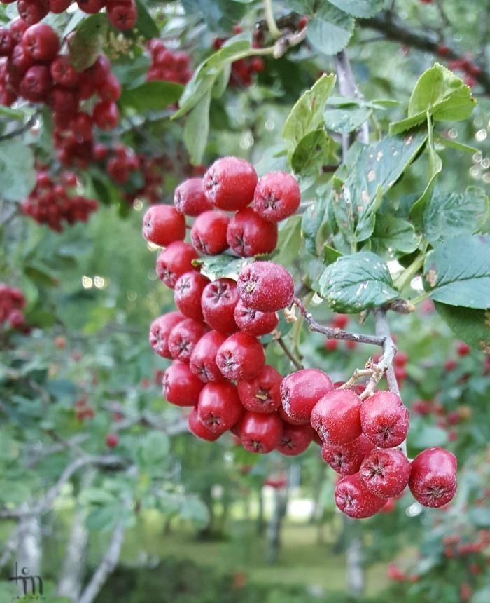 punaiset orapihlajanmarjat