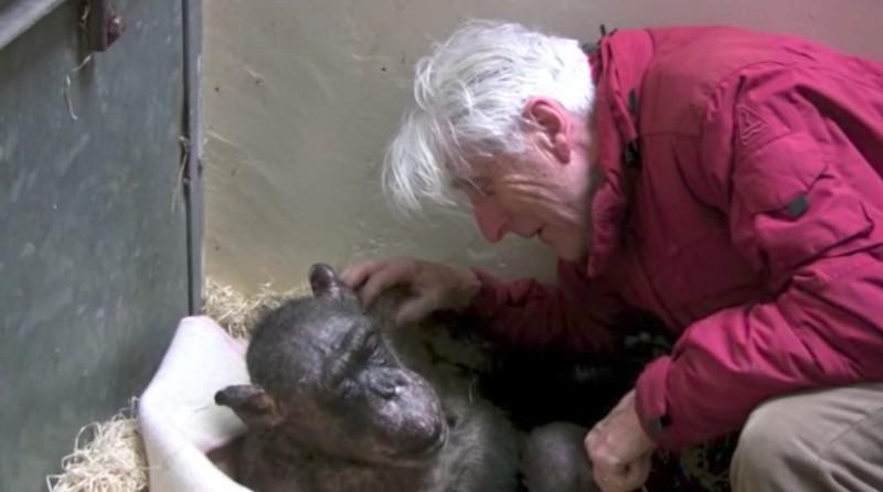 Το τελευταίο αντίο ενός χιμπατζή είναι άκρως συγκινητικό....(βίντεο)