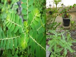 manfaat meniran untuk obat herbal asam urat dan batu ginjal