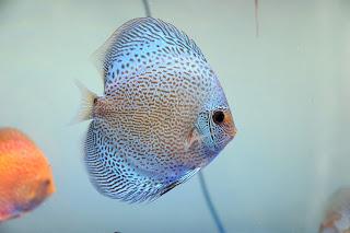 Jenis dan Harga Ikan Discus Blue Scorpion
