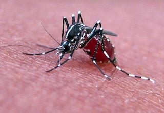 4 Nyamuk paling berbahaya di dunia
