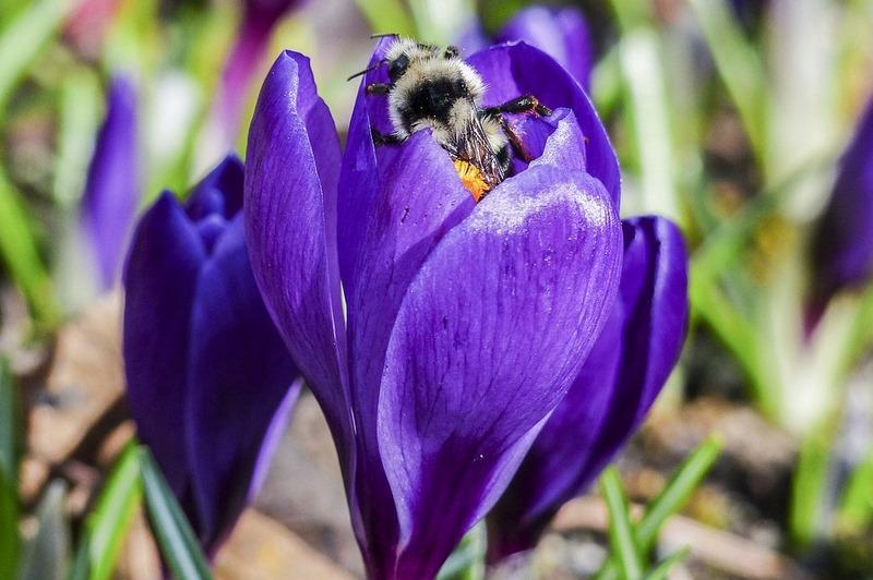 """Crocus (Azafran) """"SOS polinizadores"""" y las flores favoritas de abejas y abejorros"""