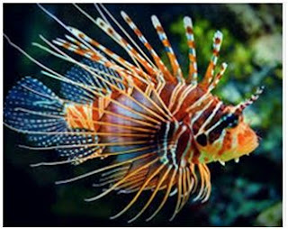 Jenis Ikan Laut Hias Aquarium Lionfish