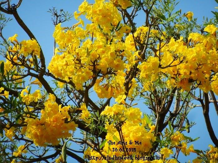 Tabebuia Aurea - Chaitra_Vasanta Flowers or Yellow Spring Flowers