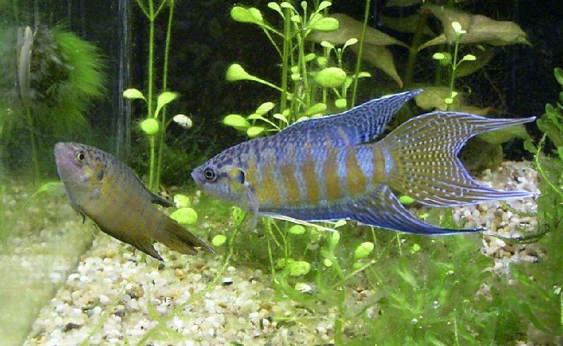 nama ikan hias air tawar