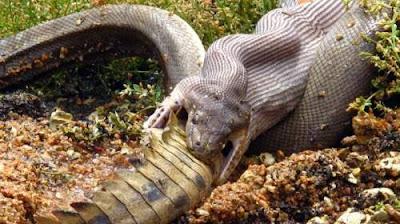 gambar ular anaconda memakan buaya