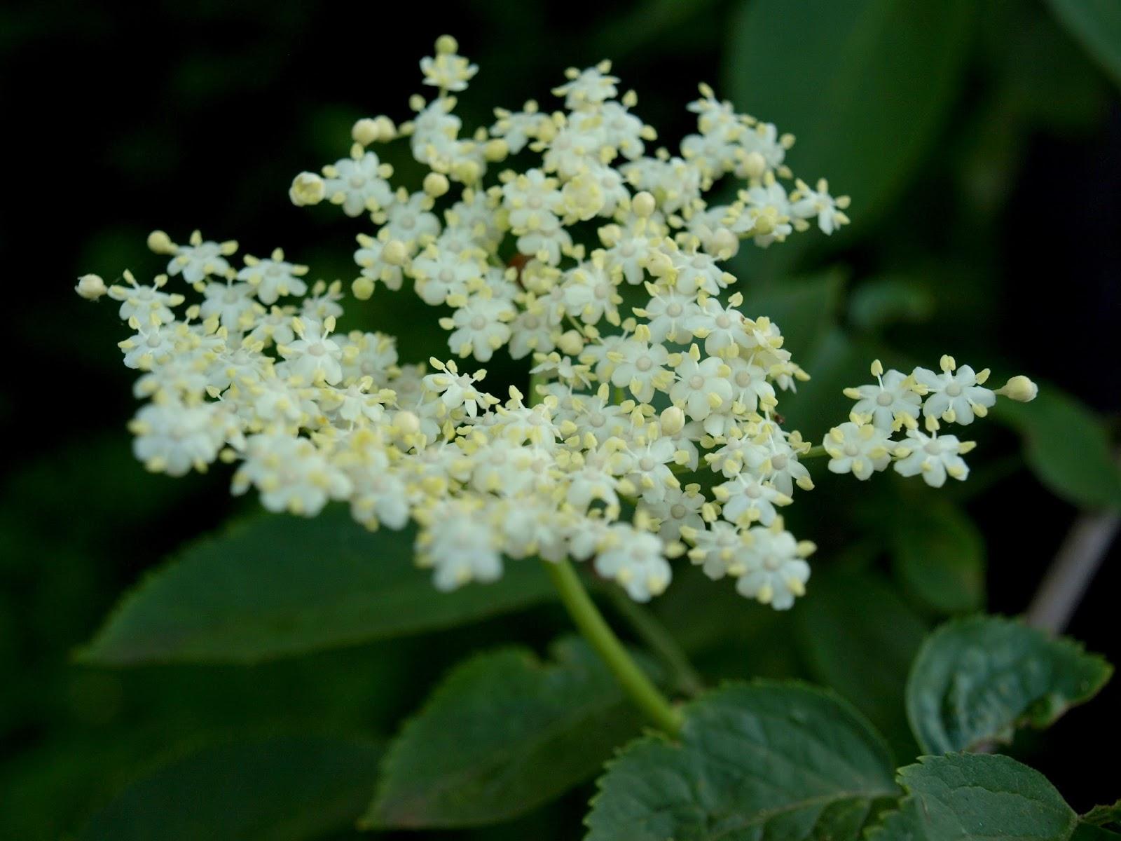 Syrop z kwiatów czarnego bzu- zdrowy i smaczny