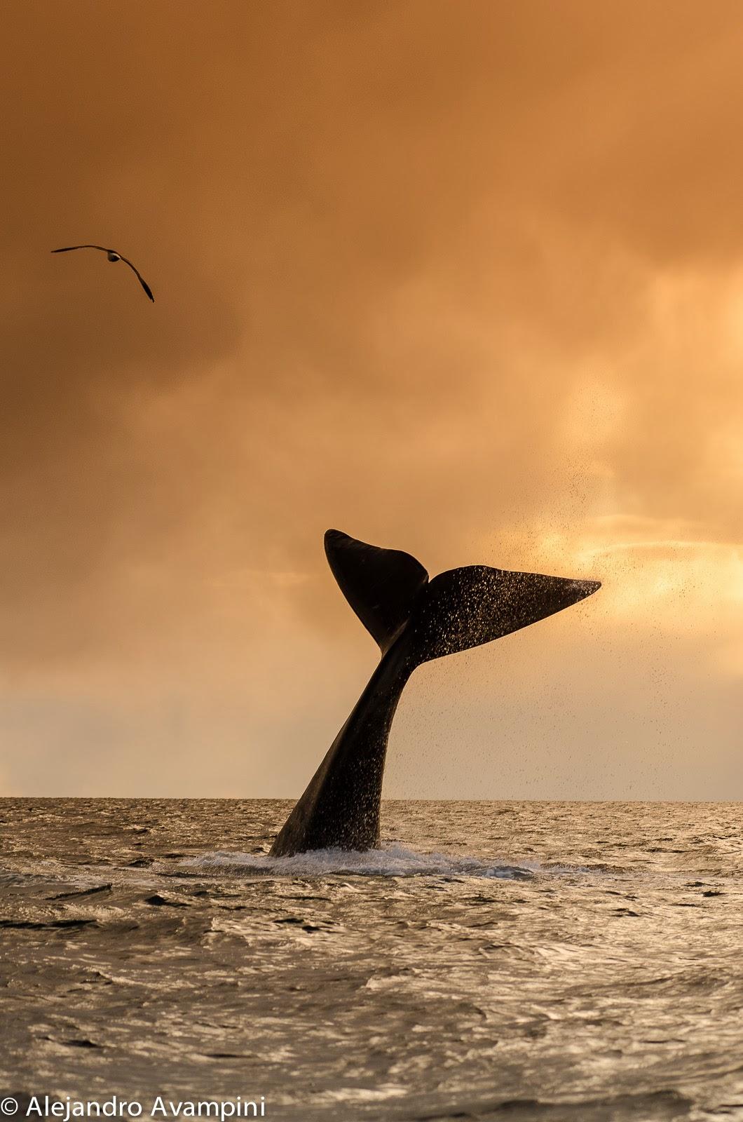Avistaje de ballenas al atardecer puerto piramides