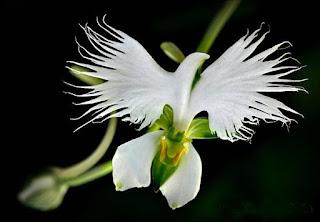 Beyaz Kuş Orkidesi