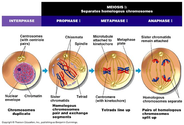 Fase Meiosis, Profase, Metafase, Anafase dan Telofase