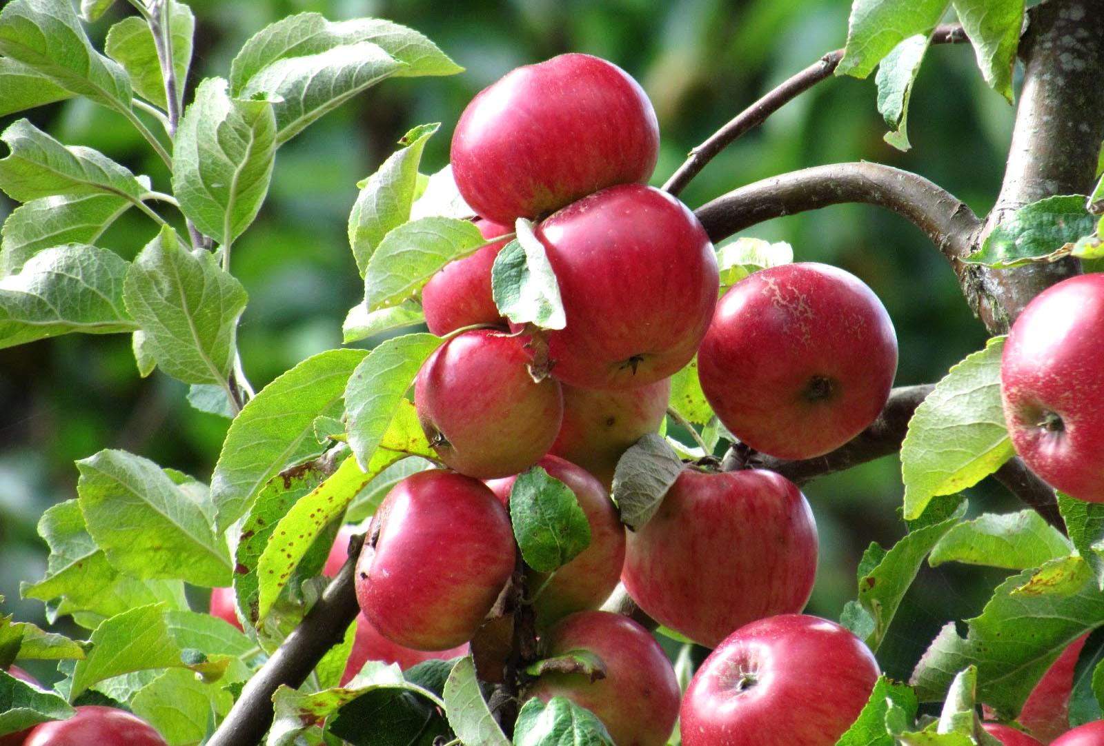 20 Manfaat dan Khasiat Jus Apel Hijau untuk Kesehatan
