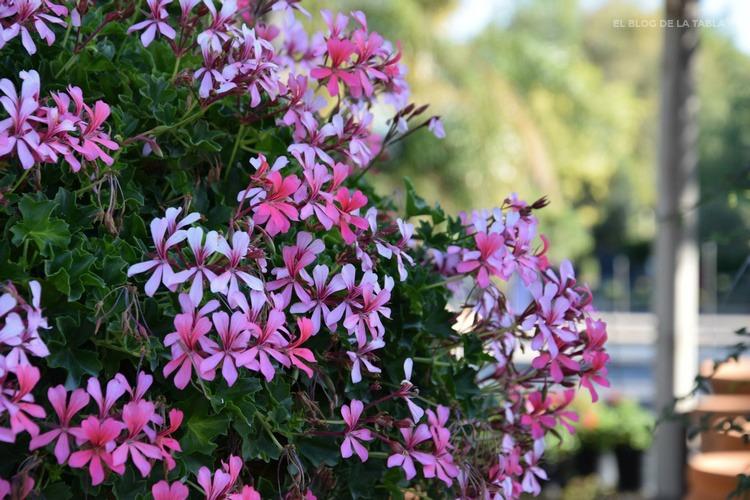 geranio colgante flores rosa y blanco. Pelargonium peltatum, gitanilla