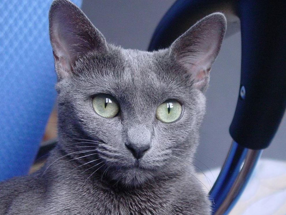 Health of Russian Blue Cat