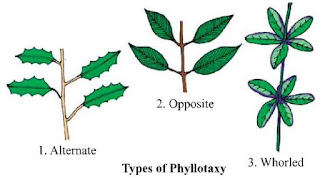 Notes of Ch 5 Morphology in Flowering Plants  Class 11th