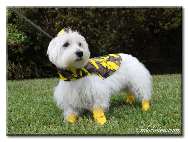 Pierre Westie wearing his yellow reversible camo Jelly Wellies rain gear.