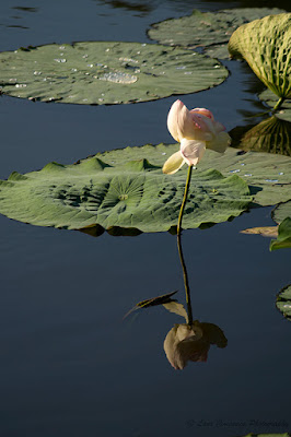 Nelumbo nucifera Floare de Lotus flower Lotosblume fiorediloto