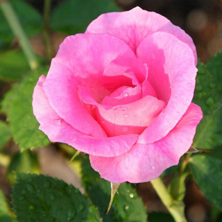 Rosa rosadas - Solo Nuevas
