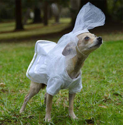 small dog in white dress and veil