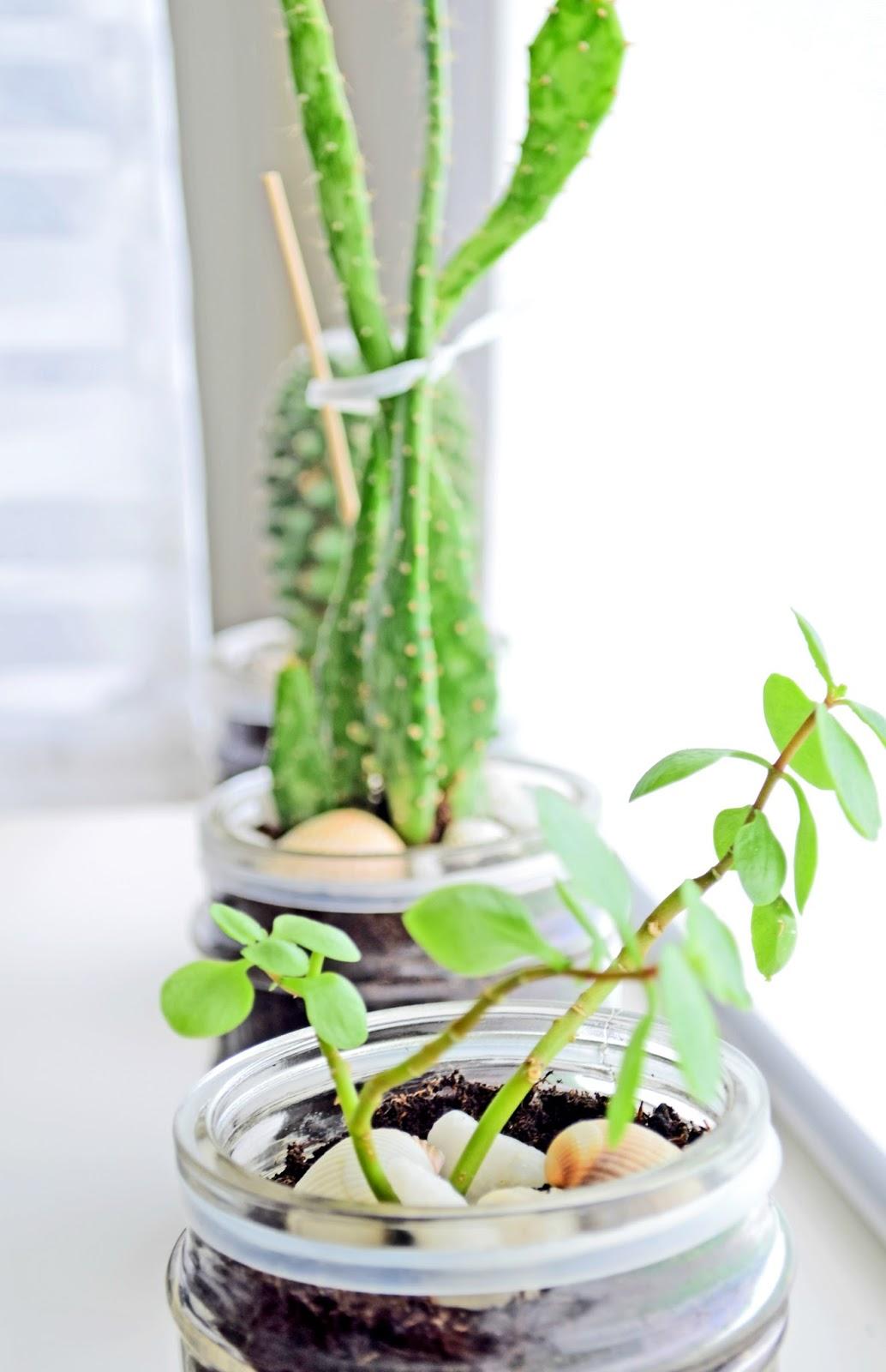 Kaktusy w mieszkaniu