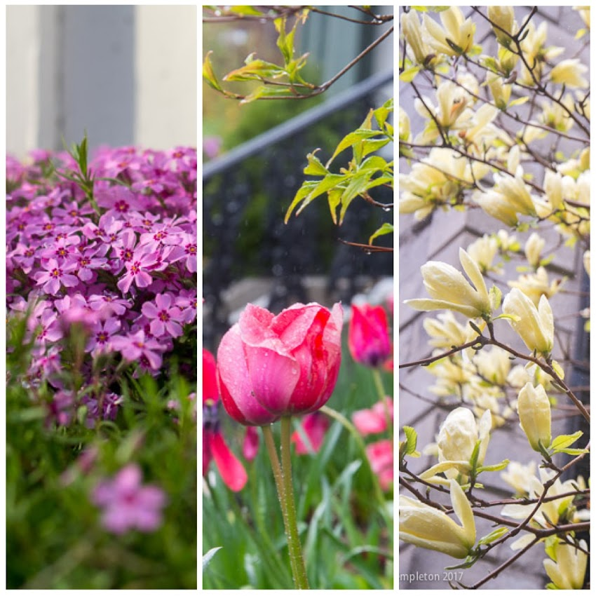 Portland, Maine USA May 2017 photos by Corey Templeton of flowers and trees in bloom around town.
