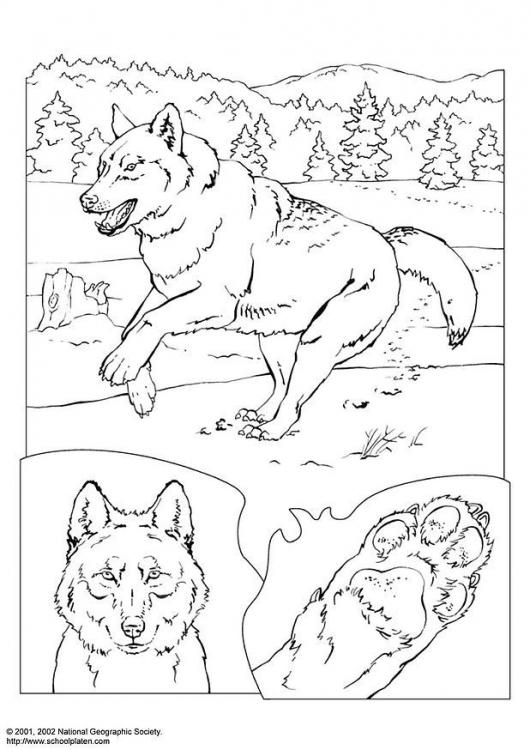 Lobos  Desenhos Para Colorir