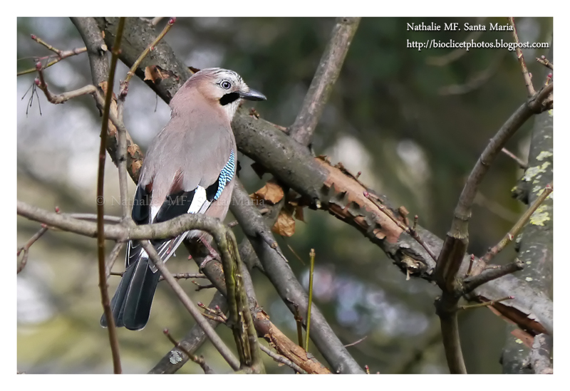 https://bioclicetphotos.blogspot.fr/search/label/Geai%20des%20ch%C3%AAnes%20-%20Garrulus%20glandarius