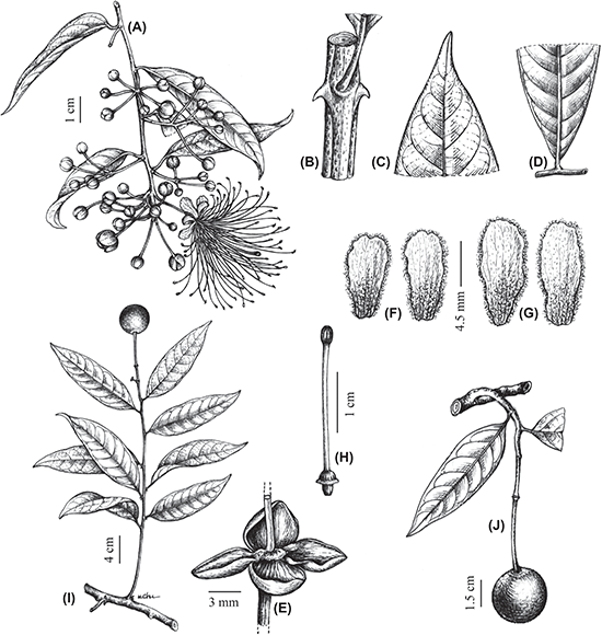 Capparis dongvanensis