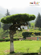 Unique Tree at chashme shahi