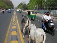 vacas sagradas, nueva delhi, india, vuelta al mundo, round the world, información viajes, consejos, fotos, guía, diario, excursiones