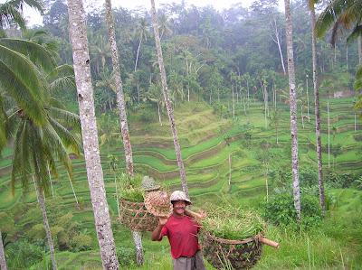 paisajes de bali, arrozales bali, isla de bali, bali, indonesia, vuelta al mundo, round the world, información viajes, consejos, fotos, guía, diario, excursiones