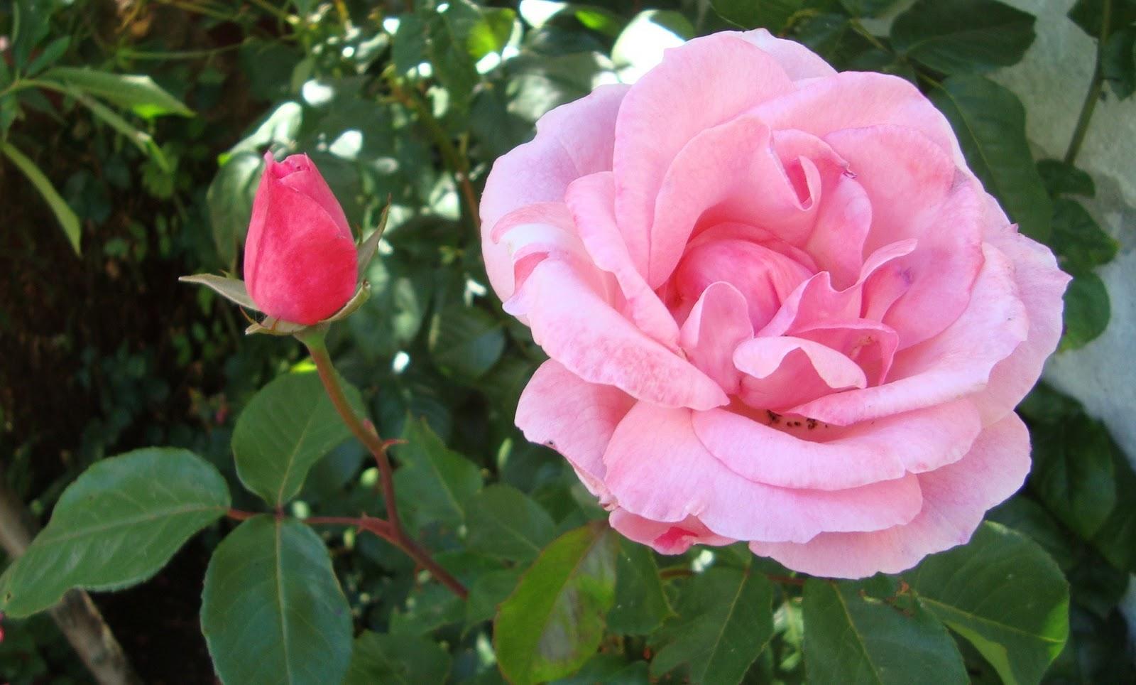 Javi S Garden Rosas Rosadas