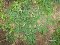 Καλόγερος-Erodium cicutarium
