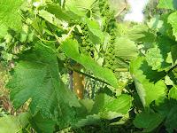 Το αμπέλι και η καλλιέργειά του