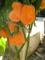 Πιπεριές καυτερές σπορά φύτεμα καλλιέργεια