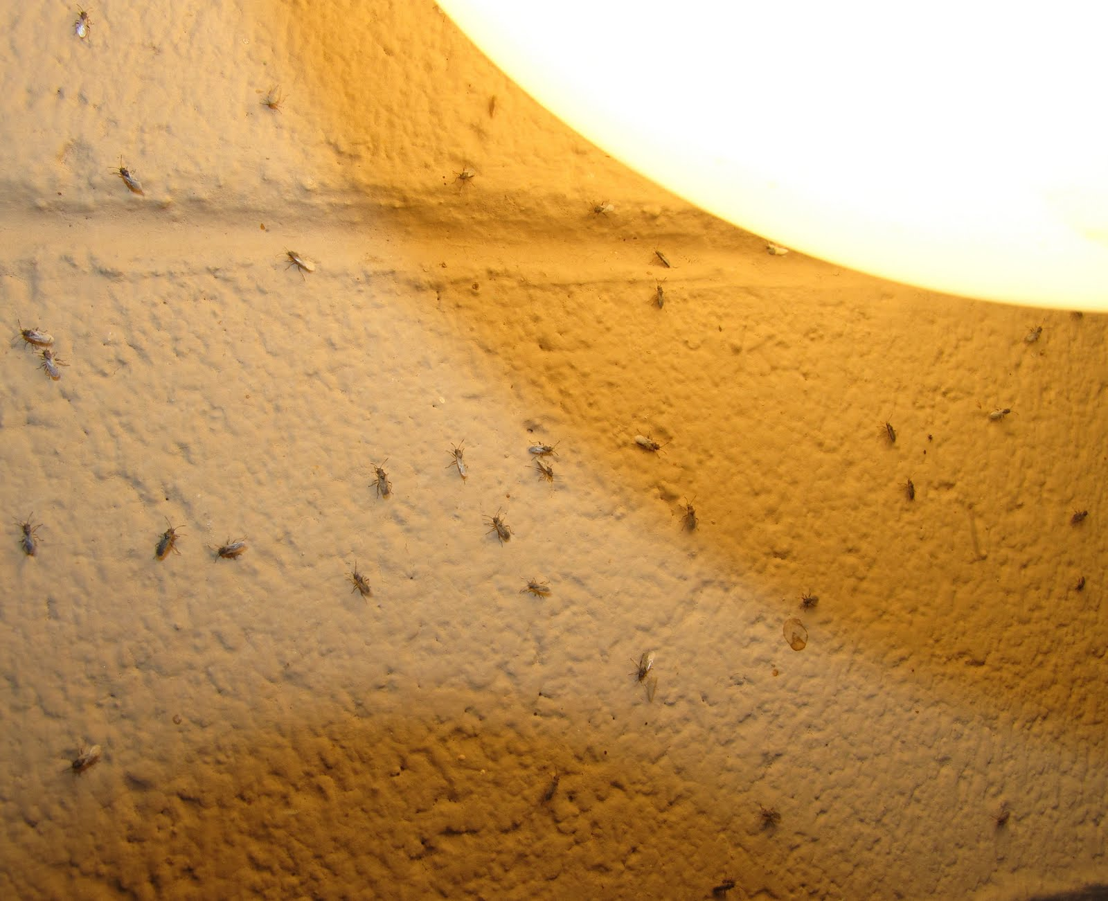 Tiny Light Brown Bugs In Bedroom