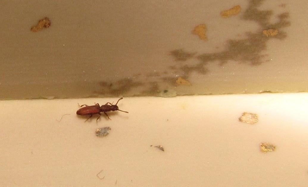 Bug Eric Merchant Grain Beetle