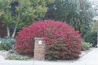 Denver Landscape Plants Dwarf Burning Bush
