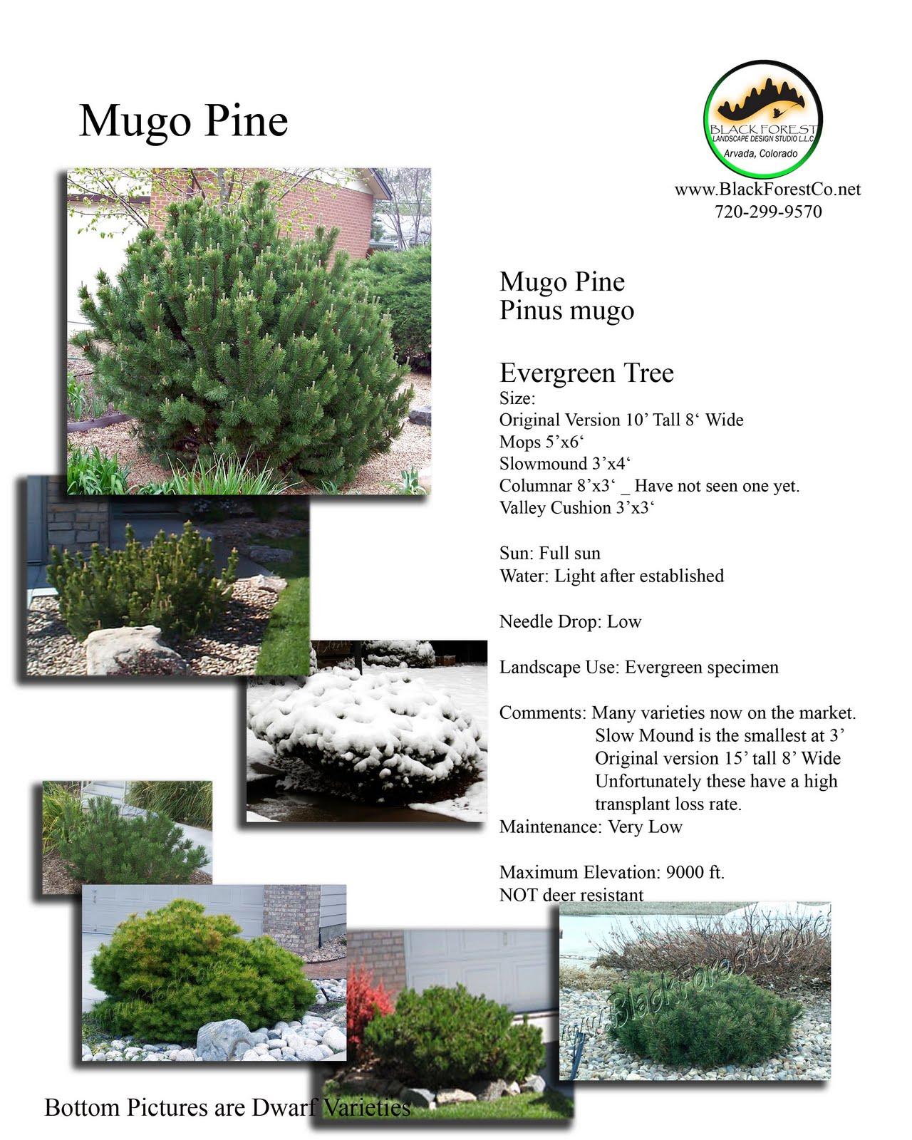 Denver Landscape Plants: Pinus Mugo - Mugo Pine