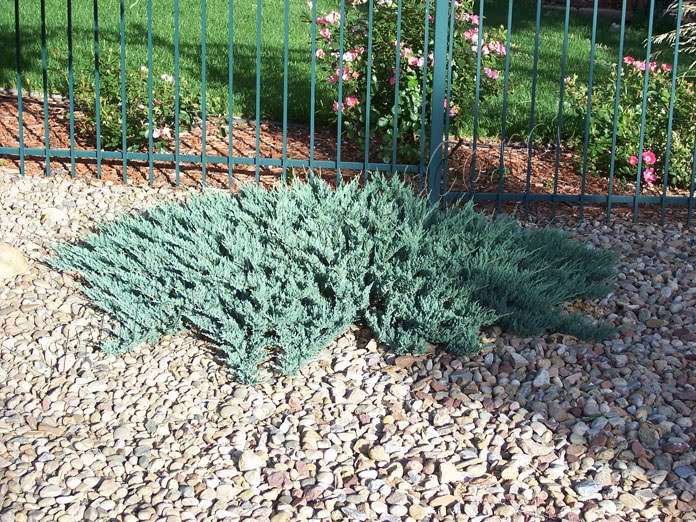 Denver Landscape Plants Spreading Juniper
