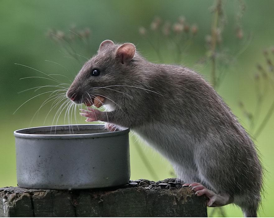 The Ratties - JungleKey.co.uk Image #50