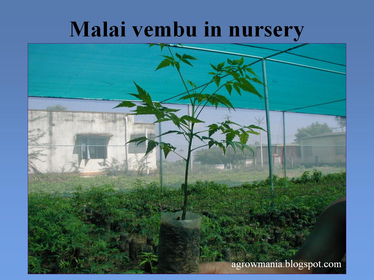 Agroforestry A Blog On Agrihortisilviculture Melia Dubia Malai