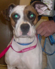 2/4/10 Two year Old Boxer on Euth List. Needs Rescue