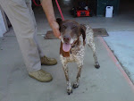 7/31/10 Beautiful Short Hair Pointer Owner Surrendered- Read Why. OHIO- Carroll County Dog Pound