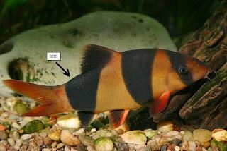 Aquarium Fish Disease Ich Or White Spot