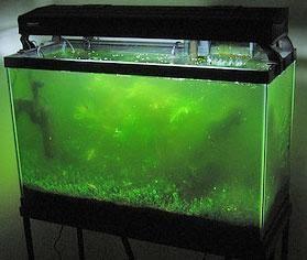 All About Aquarium Fish: Aquarium Algae Control