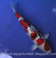 All About Aquarium Fish: Kohaku, Sanke, Tancho Koi Pets