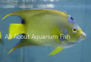 All About Aquarium Fish: Blue Striped and Queen Angelfish