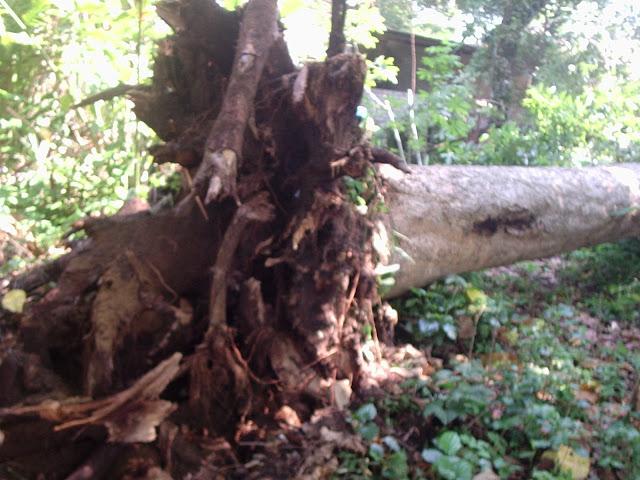 Image result for pokok besar yang tumbang dengan akar tunjang tercabut