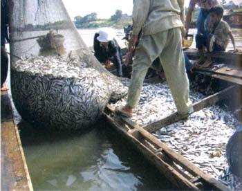 iwak wader: panen wader di rawa tonle sap cambodia