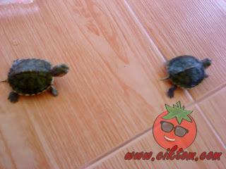 kura-kura diego dan dora 5